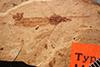 http://mczbase.mcz.harvard.edu/specimen_images/entomology/paleo/large/PALE-1168_Tipula_rigens_type.jpg