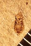 http://mczbase.mcz.harvard.edu/specimen_images/entomology/paleo/large/PALE-1180_Stenopamera_subterrea_holotype.jpg