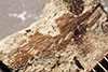 http://mczbase.mcz.harvard.edu/specimen_images/entomology/paleo/large/PALE-1187b_Spiloblattina_triassica_syntype.jpg