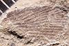 http://mczbase.mcz.harvard.edu/specimen_images/entomology/paleo/large/PALE-1189_Spiloblattina_guttata_syntype.jpg