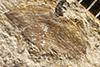 http://mczbase.mcz.harvard.edu/specimen_images/entomology/paleo/large/PALE-1194_Petrablattina_aequa_syntype.jpg