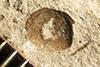 http://mczbase.mcz.harvard.edu/specimen_images/entomology/paleo/large/PALE-1205b_Neorthroblattina_lakesii_syntype.jpg