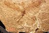 http://mczbase.mcz.harvard.edu/specimen_images/entomology/paleo/large/PALE-1213_Tipula_florissanta_type.jpg