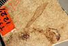http://mczbase.mcz.harvard.edu/specimen_images/entomology/paleo/large/PALE-1227_Tipula_florissanta_type.jpg
