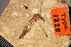 http://mczbase.mcz.harvard.edu/specimen_images/entomology/paleo/large/PALE-1228_Tipula_florissanta_type.jpg