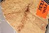 http://mczbase.mcz.harvard.edu/specimen_images/entomology/paleo/large/PALE-1235_Tipula_florissanta_type.jpg