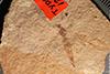 http://mczbase.mcz.harvard.edu/specimen_images/entomology/paleo/large/PALE-1238_Tipula_florissanta_type.jpg