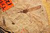 Media of type image, MCZ:Ent:PALE-1249 Identified as Tipula florissanta type status Type of Tipula florissanta.