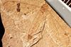 http://mczbase.mcz.harvard.edu/specimen_images/entomology/paleo/large/PALE-1261_Tipulidea_reliquiae_type.jpg