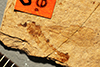 http://mczbase.mcz.harvard.edu/specimen_images/entomology/paleo/large/PALE-1280_Tipulidea_consumpta_type.jpg