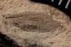 http://mczbase.mcz.harvard.edu/specimen_images/entomology/paleo/large/PALE-12988_Artinska_clara_dry.jpg