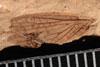 http://mczbase.mcz.harvard.edu/specimen_images/entomology/paleo/large/PALE-13000_Artinska_clara_etho.jpg