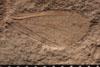http://mczbase.mcz.harvard.edu/specimen_images/entomology/paleo/large/PALE-13033_Artinska_clara_dry.jpg
