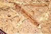 http://mczbase.mcz.harvard.edu/specimen_images/entomology/paleo/large/PALE-1309_Tipula_heilprini_type.jpg