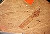 http://mczbase.mcz.harvard.edu/specimen_images/entomology/paleo/large/PALE-1311_Tipula_heilprini_type.jpg
