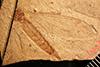 http://mczbase.mcz.harvard.edu/specimen_images/entomology/paleo/large/PALE-1312_Tipula_heilprini_type.jpg