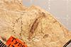 http://mczbase.mcz.harvard.edu/specimen_images/entomology/paleo/large/PALE-1321_Tipula_subterjacens_type.jpg