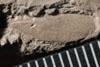 http://mczbase.mcz.harvard.edu/specimen_images/entomology/paleo/large/PALE-13236_Phenopterum_elongatum_dry.jpg