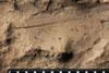 http://mczbase.mcz.harvard.edu/specimen_images/entomology/paleo/large/PALE-13239_Phenopterum_elongatum_etho.jpg