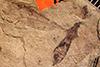 http://mczbase.mcz.harvard.edu/specimen_images/entomology/paleo/large/PALE-1330_Tipula_clauda_type.jpg