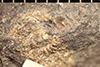 http://mczbase.mcz.harvard.edu/specimen_images/entomology/paleo/large/PALE-13328_Xyloiulus_qm.jpg