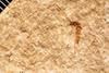 http://mczbase.mcz.harvard.edu/specimen_images/entomology/paleo/large/PALE-1385_Antocha_principialis_type_1.jpg