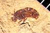 http://mczbase.mcz.harvard.edu/specimen_images/entomology/paleo/large/PALE-13880_Brachycera.jpg