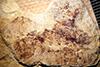 http://mczbase.mcz.harvard.edu/specimen_images/entomology/paleo/large/PALE-13881_Holometabola_qm_larvae.jpg