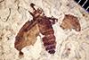 http://mczbase.mcz.harvard.edu/specimen_images/entomology/paleo/large/PALE-13885_Bibionidae.jpg