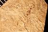 http://mczbase.mcz.harvard.edu/specimen_images/entomology/paleo/large/PALE-1389_Gonomyia_labefactata_type.jpg