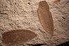 http://mczbase.mcz.harvard.edu/specimen_images/entomology/paleo/large/PALE-14478b_Hydrochara_noachica_3.jpg