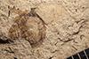 http://mczbase.mcz.harvard.edu/specimen_images/entomology/paleo/large/PALE-14480_Melolonthites_sp.jpg