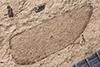 http://mczbase.mcz.harvard.edu/specimen_images/entomology/paleo/large/PALE-14484_Buprestites_sp.jpg