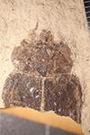 http://mczbase.mcz.harvard.edu/specimen_images/entomology/paleo/large/PALE-14498_Capnodis_spectabilis.jpg