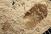 http://mczbase.mcz.harvard.edu/specimen_images/entomology/paleo/large/PALE-14499_Cydnopsis_sp.jpg