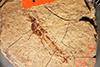 http://mczbase.mcz.harvard.edu/specimen_images/entomology/paleo/large/PALE-1449_Tipula_florissanta_type.jpg