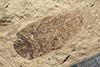 http://mczbase.mcz.harvard.edu/specimen_images/entomology/paleo/large/PALE-14501_Corixa_fasciolata.jpg