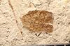 http://mczbase.mcz.harvard.edu/specimen_images/entomology/paleo/large/PALE-14525_Hydroporus_benzeli.jpg