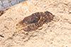 http://mczbase.mcz.harvard.edu/specimen_images/entomology/paleo/large/PALE-14535_Sitona_atavina.jpg