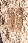 http://mczbase.mcz.harvard.edu/specimen_images/entomology/paleo/large/PALE-14538_Coleoptera.jpg