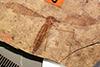 http://mczbase.mcz.harvard.edu/specimen_images/entomology/paleo/large/PALE-1453_Tipula_florissanta_type.jpg
