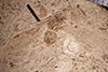 http://mczbase.mcz.harvard.edu/specimen_images/entomology/paleo/large/PALE-14549_Formicidae.jpg