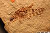 http://mczbase.mcz.harvard.edu/specimen_images/entomology/paleo/large/PALE-1522_Laasbium_sectile_holotype_2.jpg