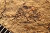 http://mczbase.mcz.harvard.edu/specimen_images/entomology/paleo/large/PALE-1632_Geralophus_lassatus_type.jpg