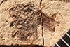 http://mczbase.mcz.harvard.edu/specimen_images/entomology/paleo/large/PALE-1662_Geralophus_lassatus_type.jpg