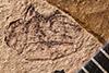 http://mczbase.mcz.harvard.edu/specimen_images/entomology/paleo/large/PALE-1669_Geralophus_sp.jpg
