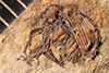 http://mczbase.mcz.harvard.edu/specimen_images/entomology/paleo/large/PALE-1676_Geralophus_discessus_type.jpg