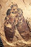 http://mczbase.mcz.harvard.edu/specimen_images/entomology/paleo/large/PALE-1734_Anoplognathus_rhenana_type.jpg