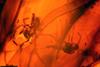 http://mczbase.mcz.harvard.edu/specimen_images/entomology/paleo/large/PALE-17917_Chironomidae.jpg