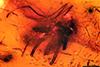 http://mczbase.mcz.harvard.edu/specimen_images/entomology/paleo/large/PALE-17932_Chironomidae.jpg